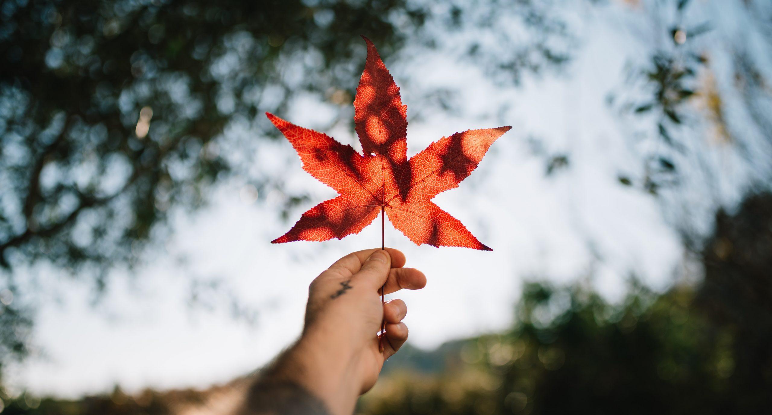 Hand holding a red maple leaf. Une main qui tient une feuille d'érable rouge.